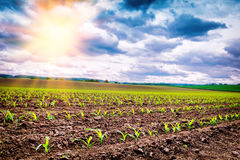 Agricultural field with corn sprouts Stock Images