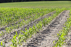 Agricultural field with corn Stock Images