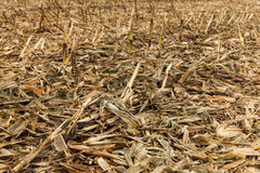 Agricultural field with corn Stock Photography