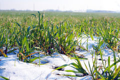 Agricultural field covered by snow Royalty Free Stock Images