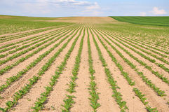 Agricultural field with crops of fodder plants. Rows of green seedlings in perspective Stock Photo