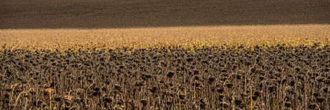 Agricultural field of dry sunflowers and corn on a sunny day. Web banner royalty free stock photography