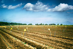 Agricultural field with green sprouts Royalty Free Stock Photography