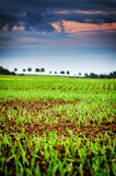 Agricultural field with green sprouts of wheat Royalty Free Stock Photo