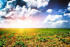 Agricultural field with green sugar beet sprouts stock image
