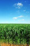 Agricultural field of green wheat Stock Image