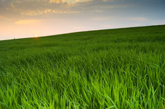Agricultural field of green wheat Royalty Free Stock Image
