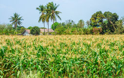 Agricultural field of mature maize nearby house Stock Images