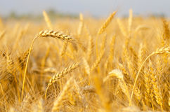 Agricultural field of ripe wheat just before harvest in summer Royalty Free Stock Image