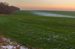 Field with rows of winter crops at sunset time in an autumnal season in Ukraine Royalty Free Stock Photo