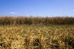 Agricultural field  . summer Stock Photography