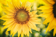 Agricultural Field - Sunflowers Royalty Free Stock Photos