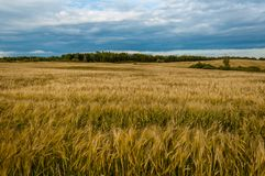 Agricultural field under a cloudy sky. golden ears of rye. Beautiful agricultural field under a cloudy sky. golden ears of rye Stock Photo