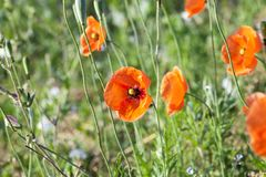 Red Poppy in the field Stock Photo
