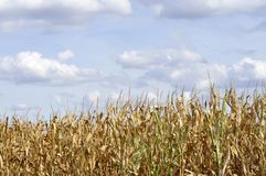 Agricultural field on which the green corn grows Stock Image
