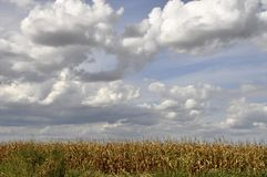 Agricultural field on which the green corn grows. Royalty Free Stock Photography