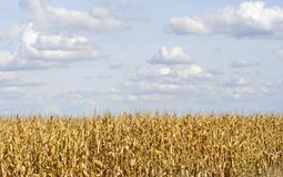 Agricultural field on which the green corn grows. Stock Photo