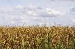 Agricultural field on which the green corn grows Royalty Free Stock Photos