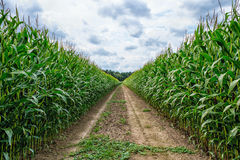 Agricultural field on which the green corn grows Stock Photos