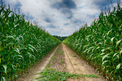 Agricultural field on which the green corn grows, hdr Royalty Free Stock Image