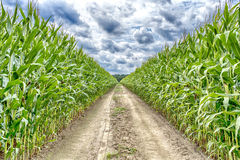 Agricultural field on which the green corn grows. Hdr, road at the corn field to the dream royalty free stock photography