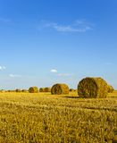 Agricultural field. On which grow up also the harvest  wheat Royalty Free Stock Image