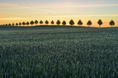 Agricultural field on which grow up cereals, Germany Royalty Free Stock Images