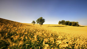 An agricultural field on which grow up cereals Royalty Free Stock Images