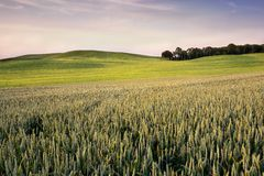 An agricultural field on which grow up cereals Stock Photos