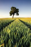 An agricultural field on which grow up cereals Stock Images