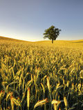 An agricultural field on which grow up cereals Stock Image