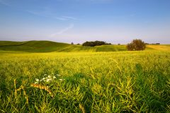 An agricultural field on which grow up cereals Royalty Free Stock Photos