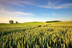 An agricultural field on which grow up cereals Royalty Free Stock Image