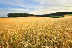 An agricultural field on which grow up cereals Stock Photo