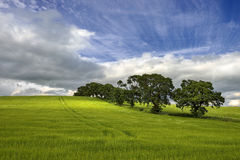 Agricultural field on which grow up cereals, Scotland Stock Image