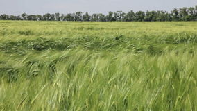Agricultural field on which wheat is grown stock footage