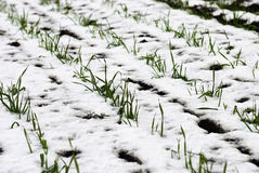 Agricultural field of winter wheat under the snow Royalty Free Stock Photography