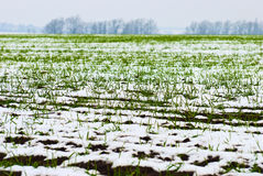 Agricultural field of winter wheat under the snow Stock Photography