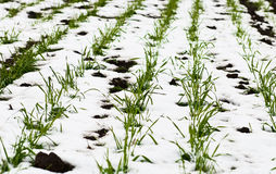Agricultural field of winter wheat under the snow Stock Photos