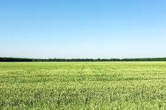 Agricultural field with young green wheat plants. Clear blue sky without clouds on background. equal splitted image stock image