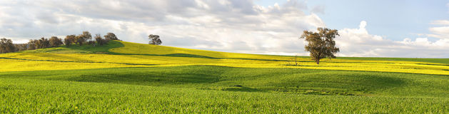Agricultural fields of canola and pastures in springtime Stock Image