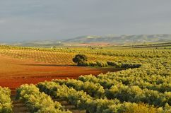 Evening fields with olive trees Seville Spain royalty free stock photos