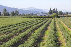 Agricultural Food Production in Lowlands. Acres of berries are successfully grown in the lowlands stock image