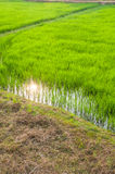 Agricultural green field Royalty Free Stock Photo