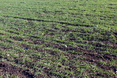Agricultural green field. Agricultural field in winter time Royalty Free Stock Photos