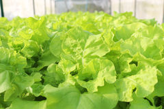 Agricultural. Green hydroponic vegetable in farm Royalty Free Stock Image