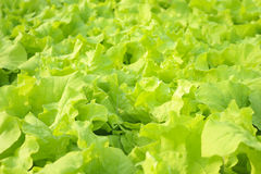 Agricultural. Green hydroponic vegetable in farm Royalty Free Stock Photo