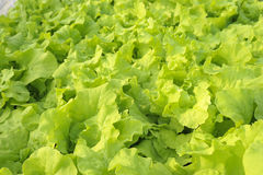 Agricultural. Green hydroponic vegetable in farm Stock Image