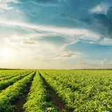 Agricultural green tomatoes field and sunset Royalty Free Stock Images
