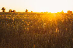 Agricultural harvest background. Wheat field under Royalty Free Stock Image